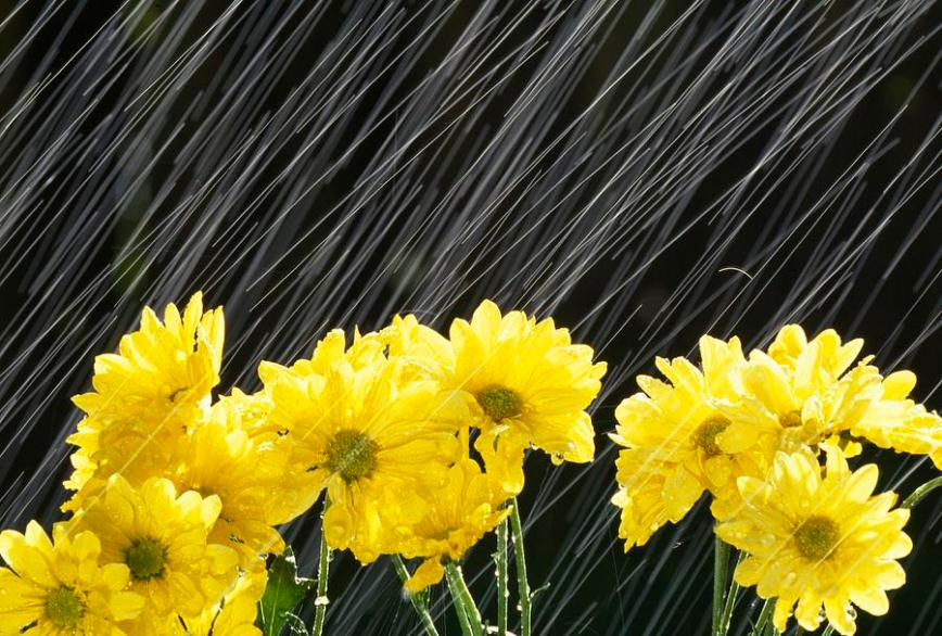 raining-on-yellow-daisies-natural-selection-craig-tuttle