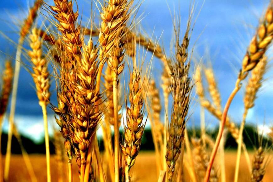 wheat180708_03
