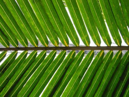 Palm_frond